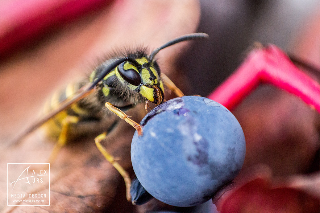 Wasp on Berry