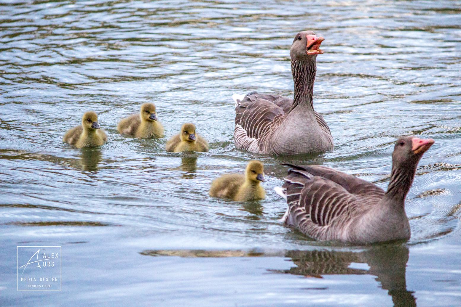 Happy Goose Family