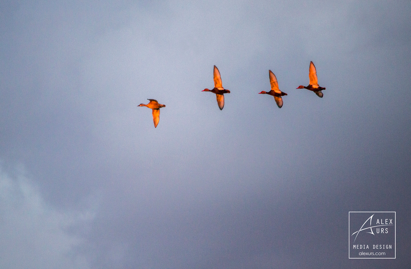 Ducks Formation in Sunset